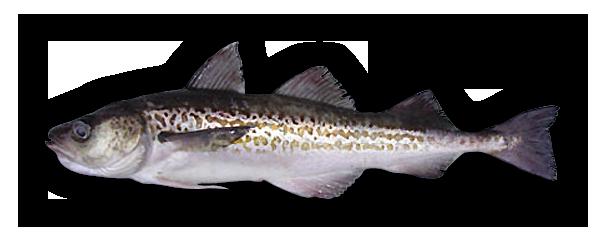alaska-pollock